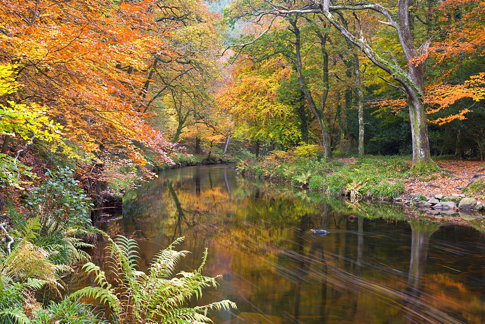 Autumn foliage along the banks of the River Teign at Fingle Bridge, Dartmoor National Park, Devon, England, United Kingdom, Europe
