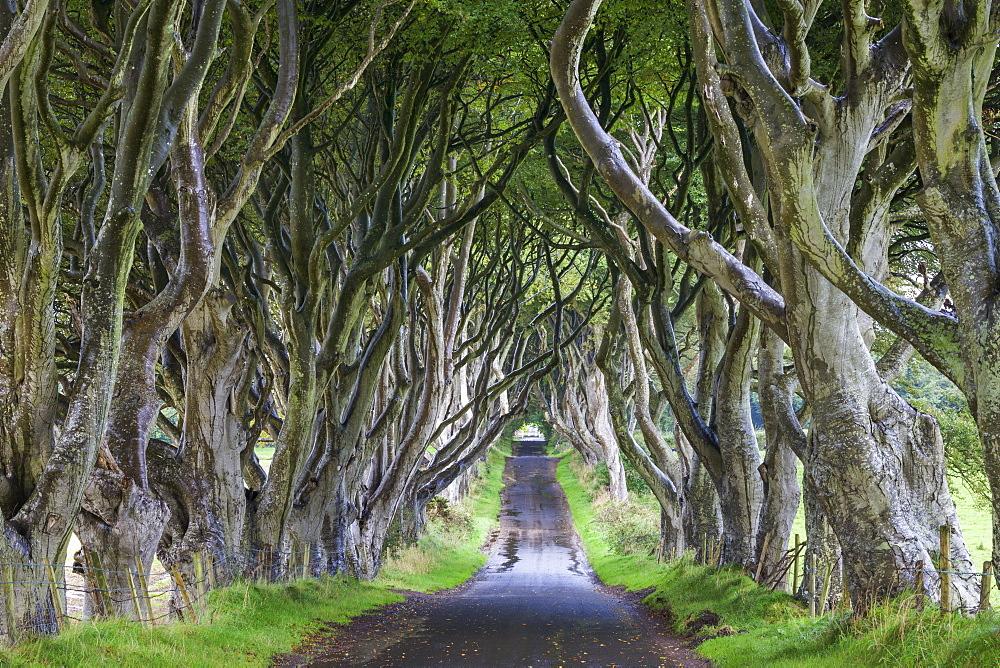 The Dark Hedges near Armoy, County Antrim, Ulster, Northern Ireland, United Kingdom, Europe