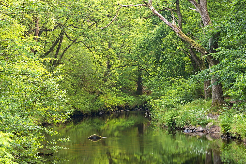 Verdant summer foliage along the banks of the River Teign at Fingle Bridge, Dartmoor, Devon, England, United Kingdom, Europe