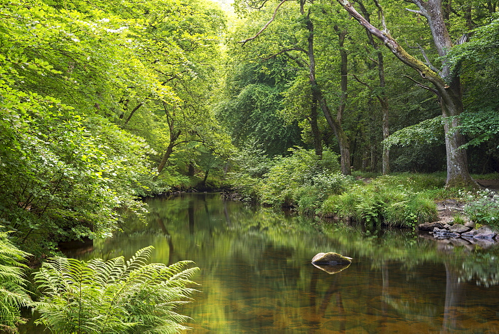 Verdant summer foliage lines the banks of the River Teign at Fingle Bridge, Dartmoor, Devon, England, United Kingdom, Europe