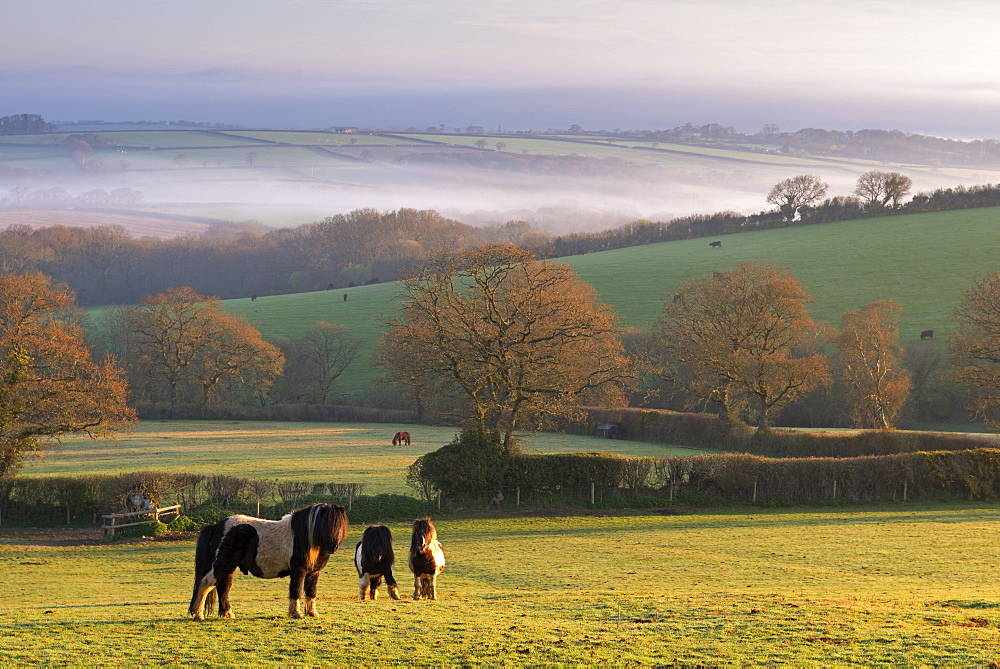 Miniature ponies graze on the rolling Devon fields at dawn, South Tawton, Devon, England, United Kingdom, Europe