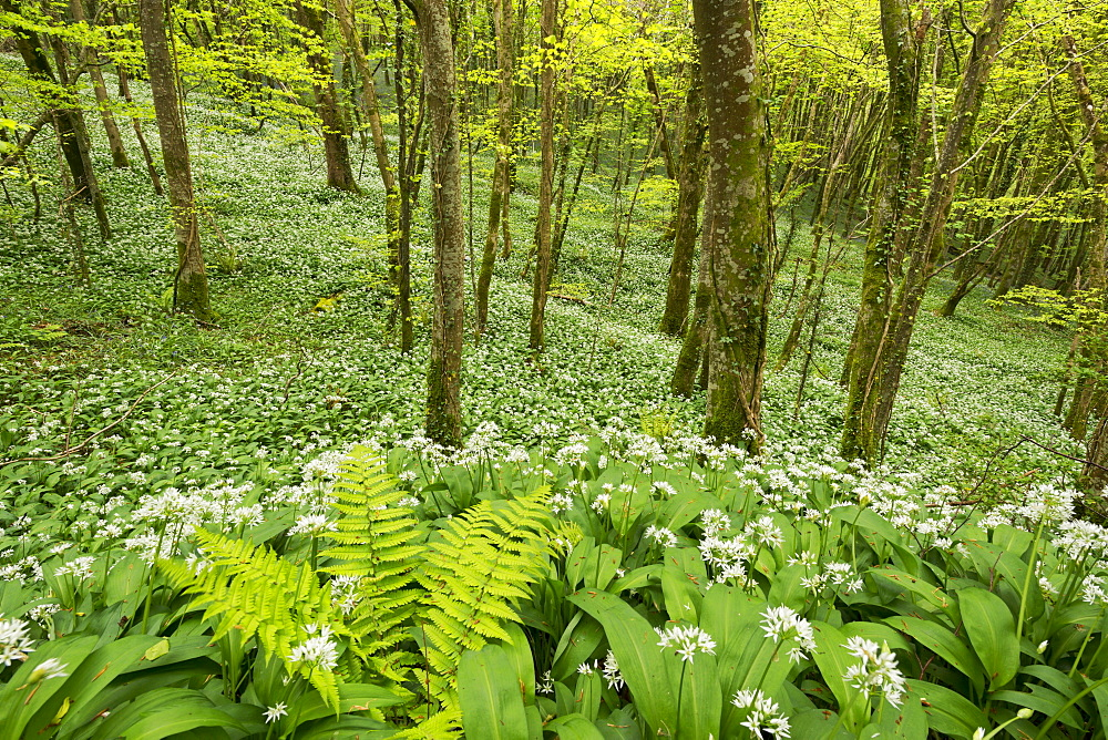 Wild garlic and ferns growing in a Cornish woodland in spring time, Looe, Cornwall, England, United Kingdom, Europe