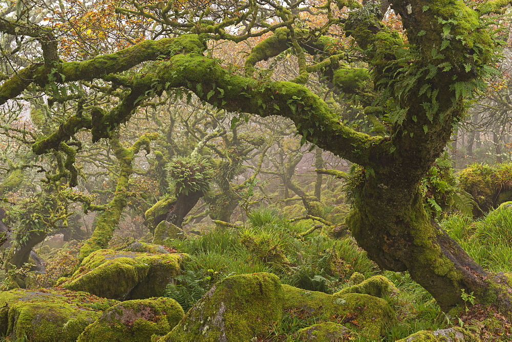 Stunted oak trees in the creepy and mysterious Wistman's Wood, Dartmoor National Park, Devon, England, United Kingdom, Europe