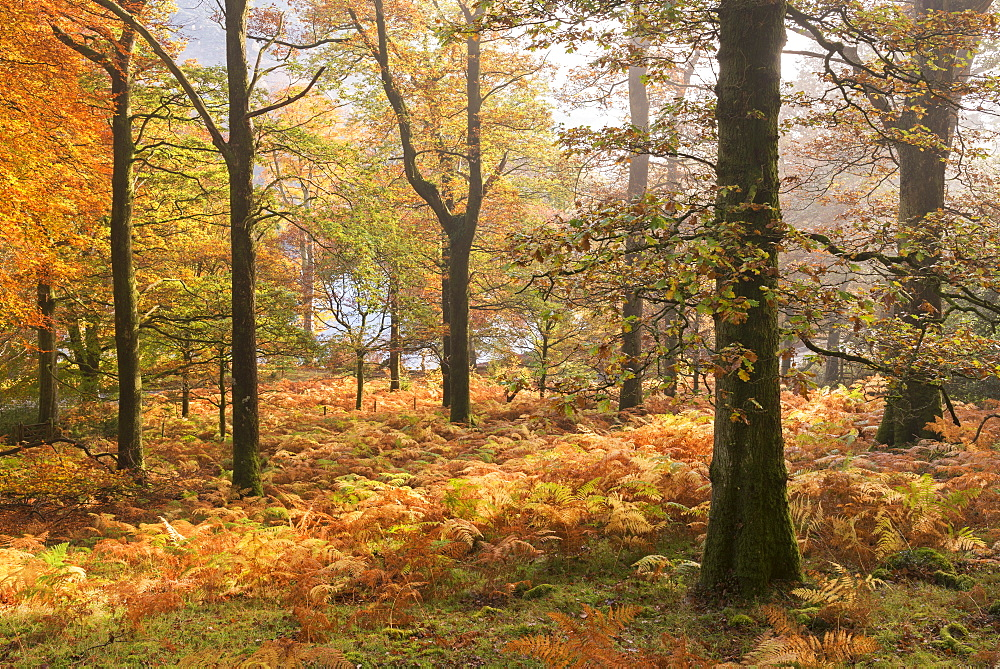 Colourful deciduous woodland with autumnal colours, Lake District, Cumbria, England, United Kingdom, Europe