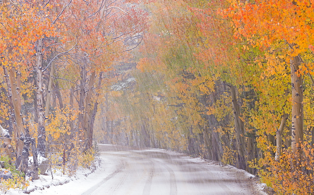 Snowfall and autumn foliage beside a high country road in the Eastern Sierras, Bishop Creek Canyon, California, United States of America, North America