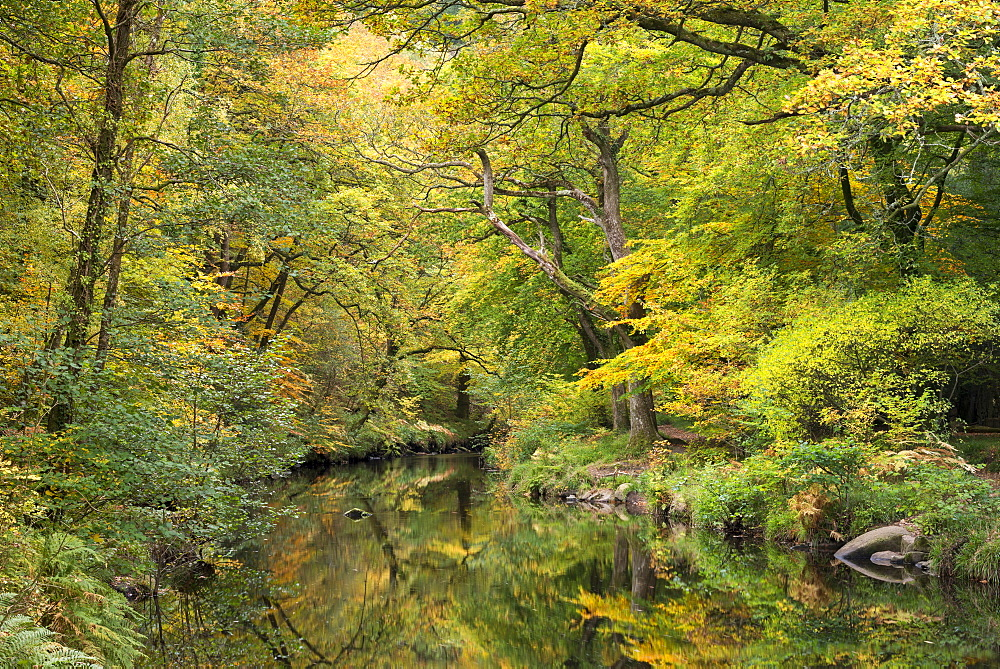 Autumn foliage surrounding the River Teign near Fingle Bridge, Dartmoor, Devon, England, United Kingdom, Europe