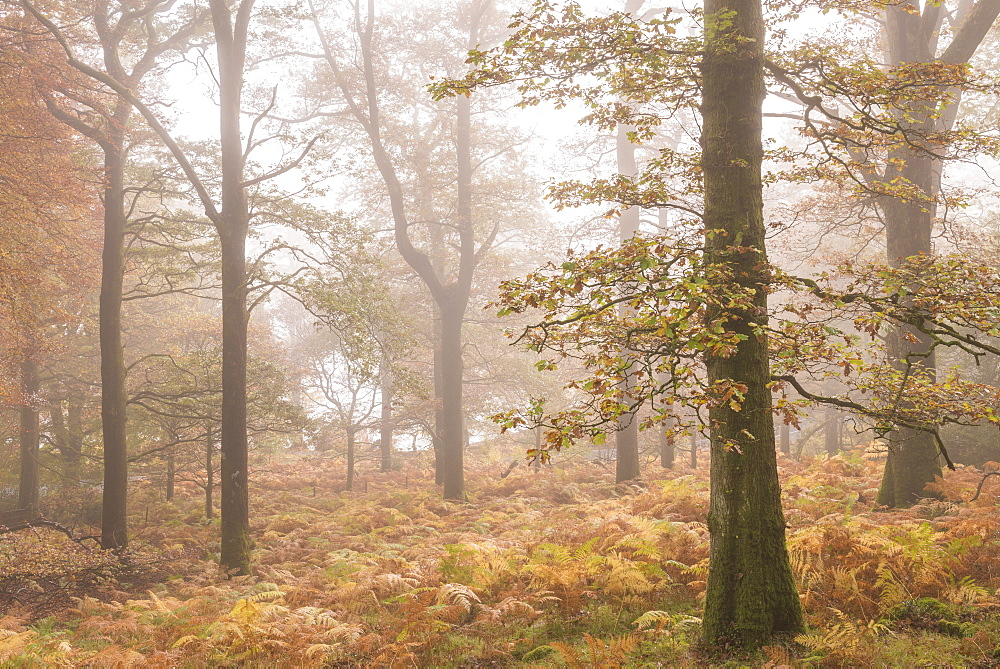 Mist shrouded autumnal deciduous woodland near Ullswater, Lake District, Cumbria, England, United Kingdom, Europe