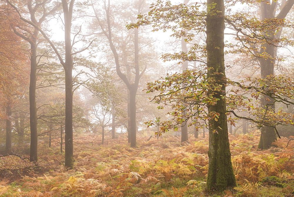 Mist shrouded autumnal deciduous woodland near Ullswater, Lake District, Cumbria, England. Autumn (November) 2015.