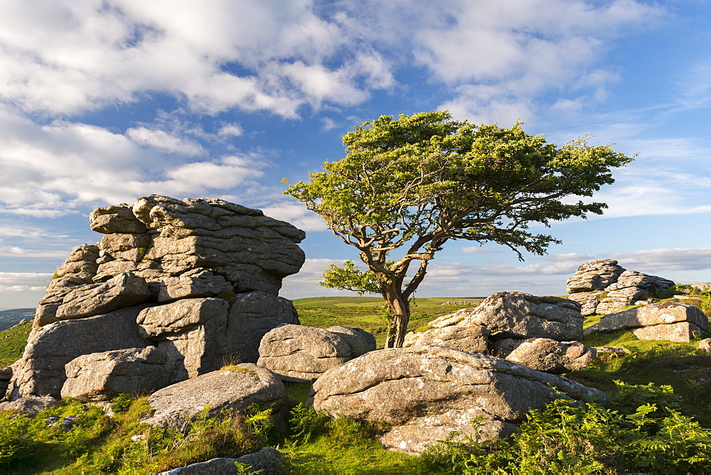 Windswept hawthorn tree growing among the granite rocks near Saddle Tor, Dartmoor National Park, Devon, England, United Kingdom, Europe
