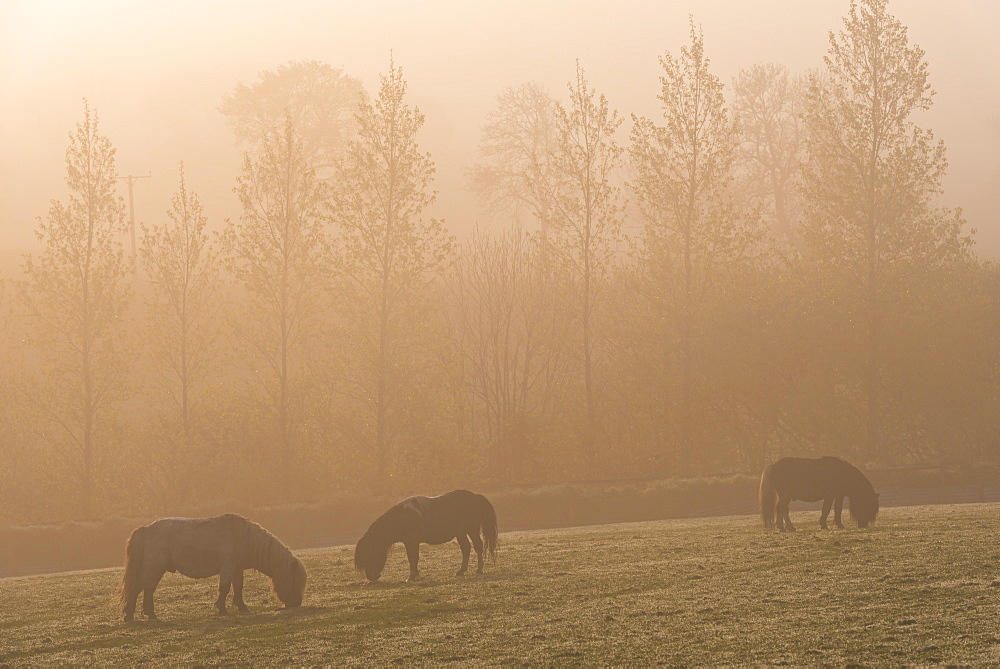 Ponies grazing on farmland on a misty Spring morning, South Tawton, Devon, England, United Kingdom, Europe