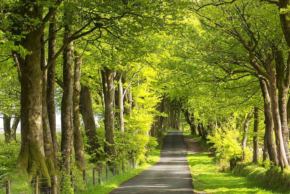 Tree lined avenue in spring time, Dartmoor National Park, Devon, England. Spring (May) 2016.