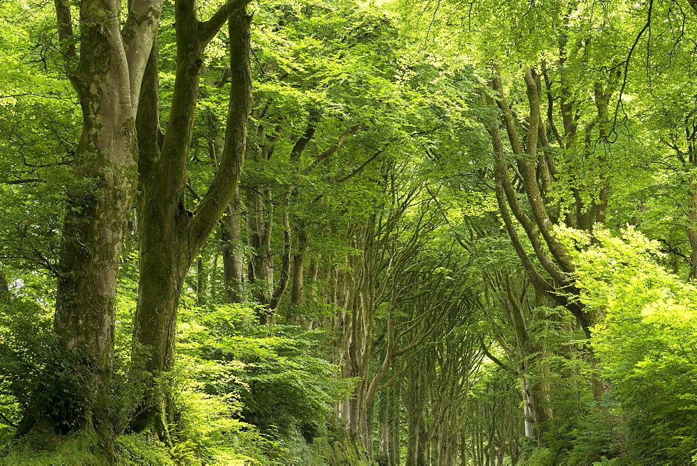 Verdant woodland in Dartmoor National Park, Devon, England, United Kingdom, Europe