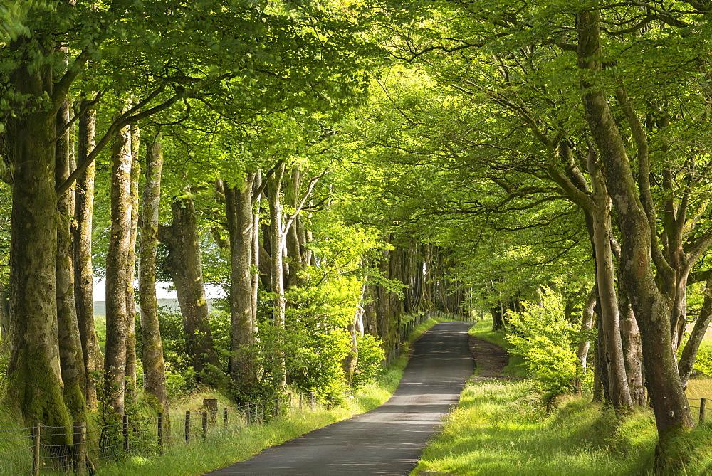 Tree lined avenue in summer sunshine, Dartmoor, Devon, England, United Kingdom, Europe