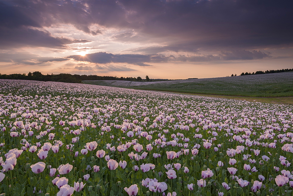 Flowering opium poppies in an Oxfordshire field, England, United Kingdom, Europe