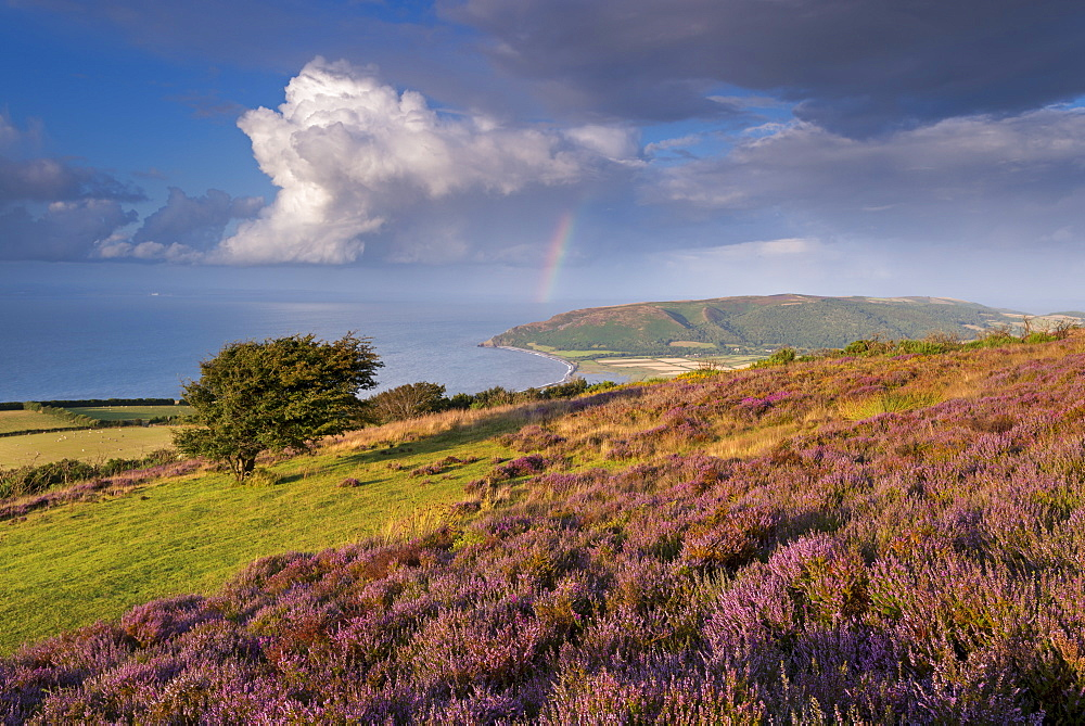 Heather covered moorland on Porlock Common, overlooking Porlock Bay, Exmoor, Somerset, England, United Kingdom, Europe