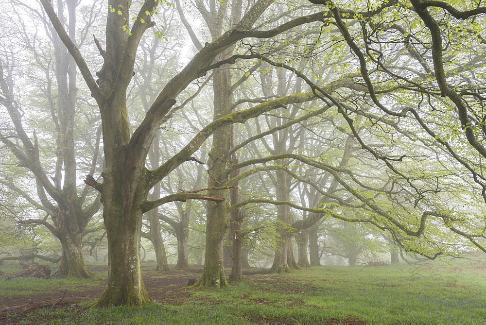 Mature Beech trees in morning fog, Whiddon Deer Park, Dartmoor, Devon, England, United Kingdom, Europe