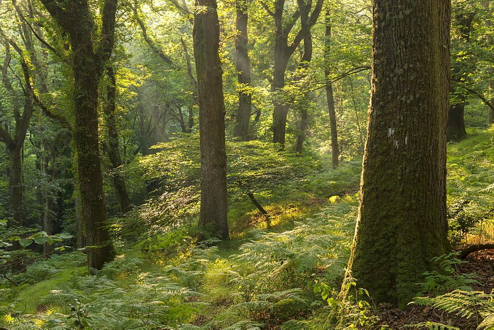 Sunny summer morning in a deciduous woodland, Fingle Woods, Dartmoor, Devon, England. Summer (August) 2016.