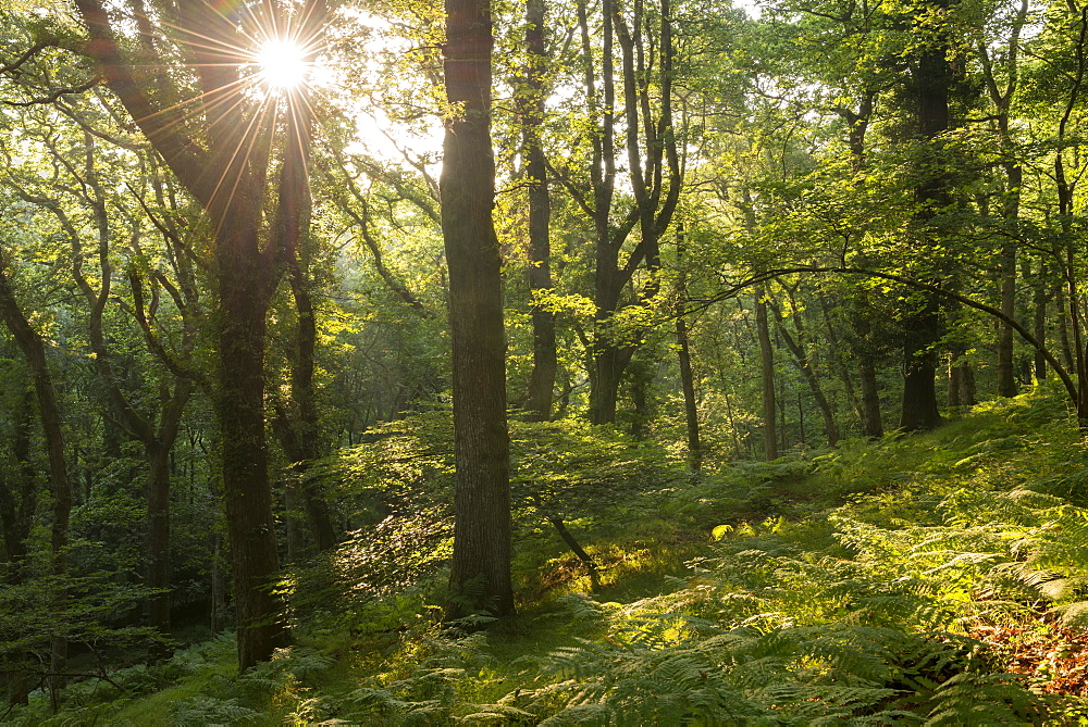 Early morning sunlight beams into a verdant deciduous wood in summertime, Dartmoor, Devon, England, United Kingdom, Europe