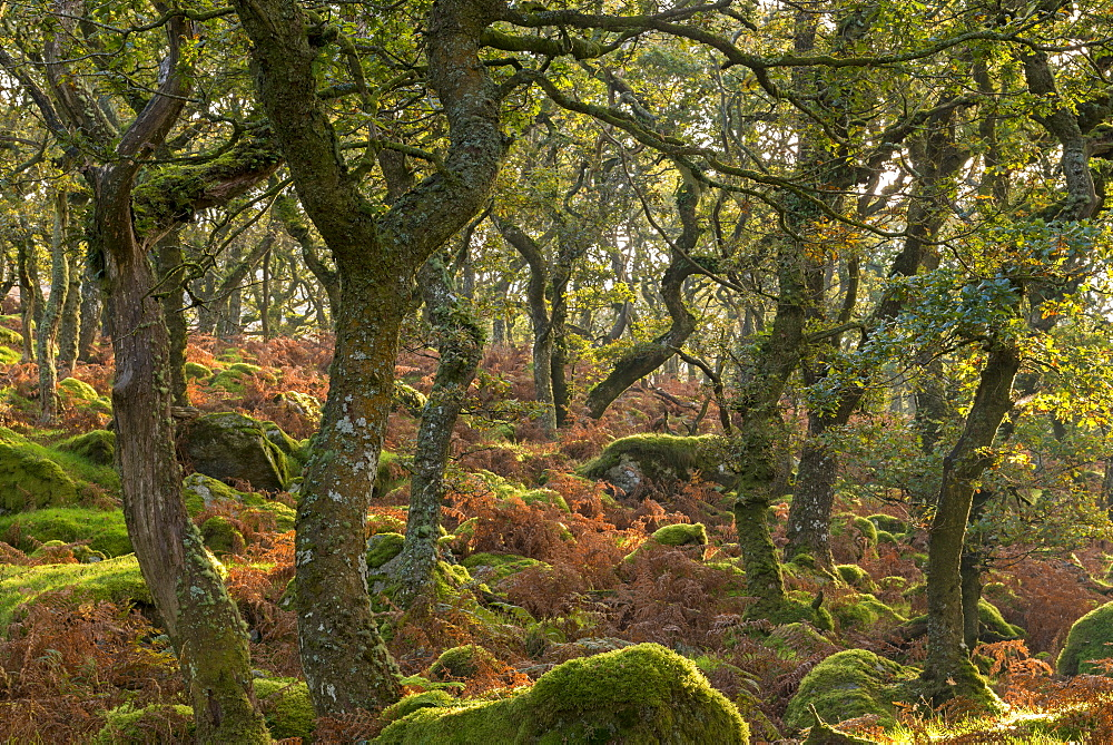 Morning sunshine lights up a moorland woodland of stunted oak trees, Black a Tor Copse, Dartmoor, Devon, England, United Kingdom, Europe - 799-3414
