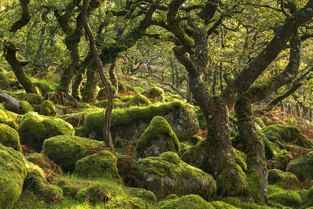 Morning sunshine lights up a moorland woodland of stunted oak trees, Black a Tor Copse, Dartmoor, Devon, England, United Kingdom, Europe - 799-3415