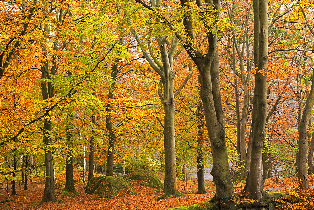 Beautiful autumnal foliage in a deciduous woodland near Grasmere, Lake District, Cumbria, England, United Kingdom, Europe