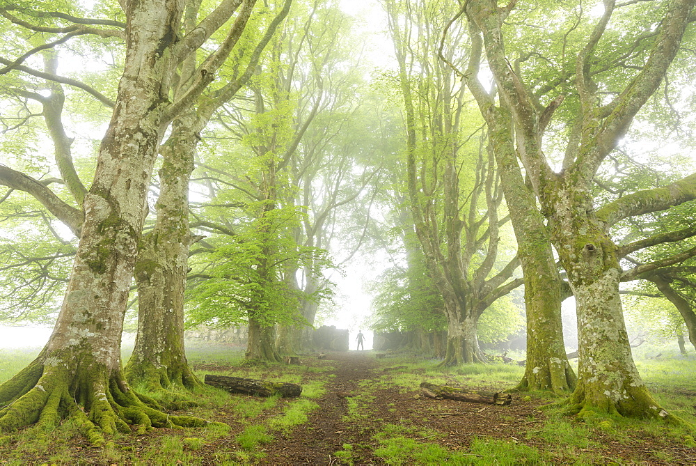 Lone figure standing in a misty deciduous woodland, Dartmoor, Devon, England, United Kingdom, Europe