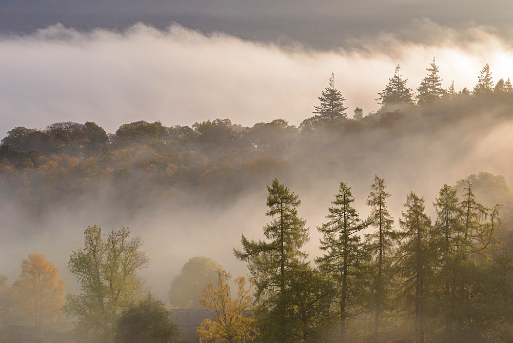 Morning mist floating through Manesty Wood on the banks of Derwent Water, Lake District, Cumbria, England. Autumn (October) 2016