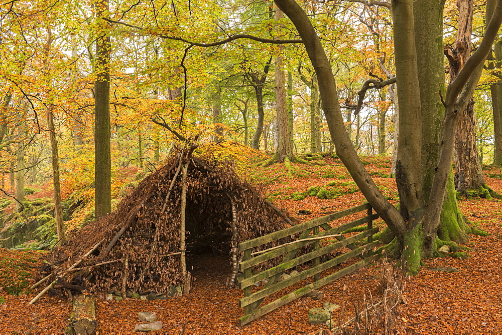 Natural forest shelter in autumnal woodland, Lake District National Park, Cumbria, England, United Kingdom, Europe - 799-3475