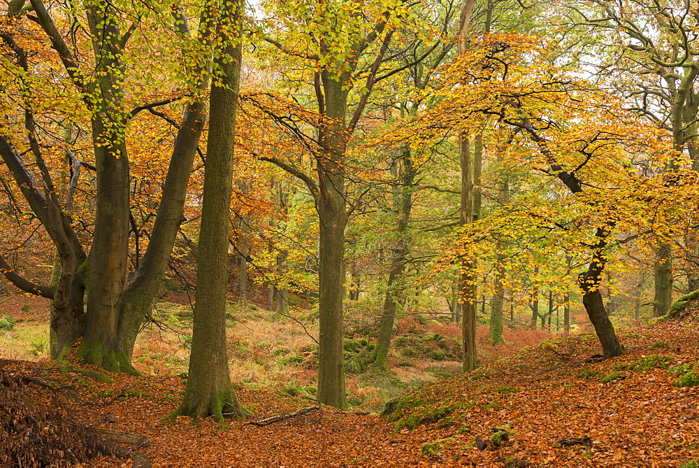Autumnal deciduous woodland in the Lake District, Cumbria, England, United Kingdom, Europe