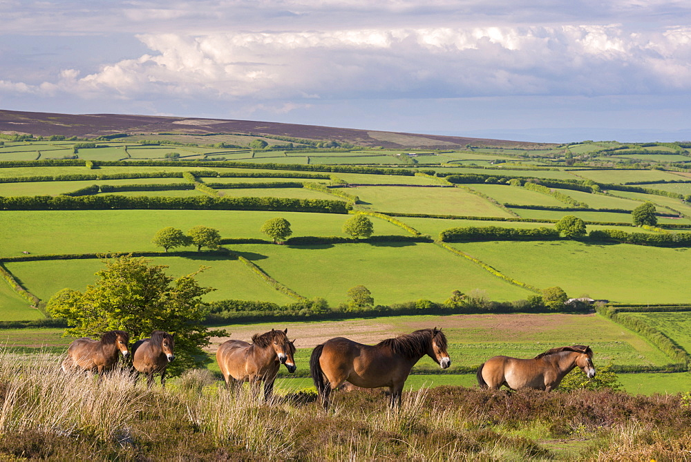 Exmoor ponies grazing on Winsford Hill in Exmoor National Park, Somerset, England, United Kingdom, Europe - 799-3501