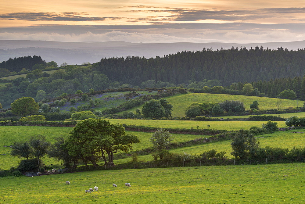 Rolling farmland near Moretonhampstead at sunset in spring, Dartmoor National Park, Devon, England, United Kingdom, Europe
