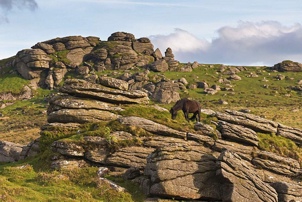Free roaming Dartmoor pony grazing on the rugged granite outcrops near Saddle Tor, Dartmoor, Devon, England, United Kingdom, Europe