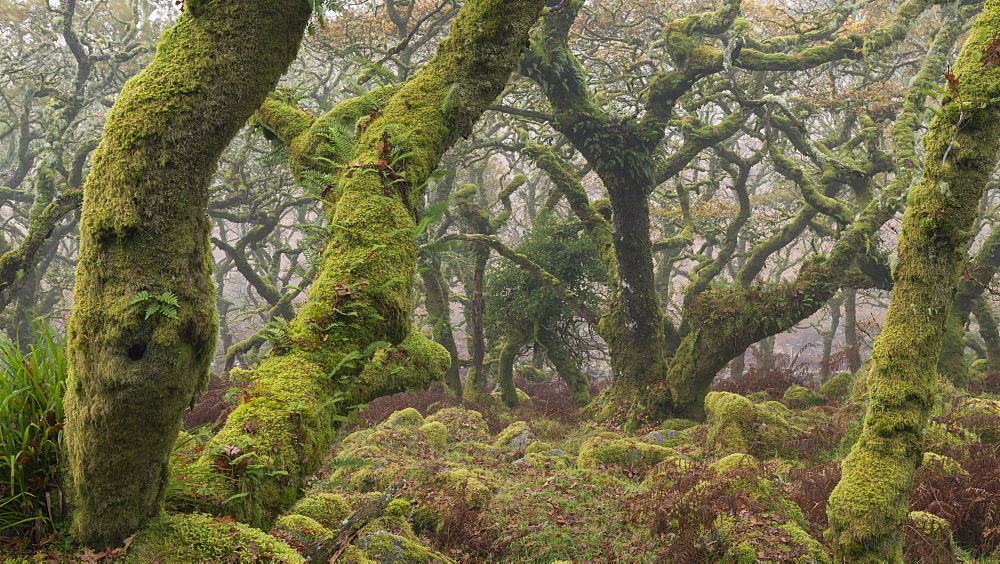 Twisted and gnarled pedunculate Oak trees in Wistman's Wood, Dartmoor National Park, Devon, England, United Kingdom, Europe