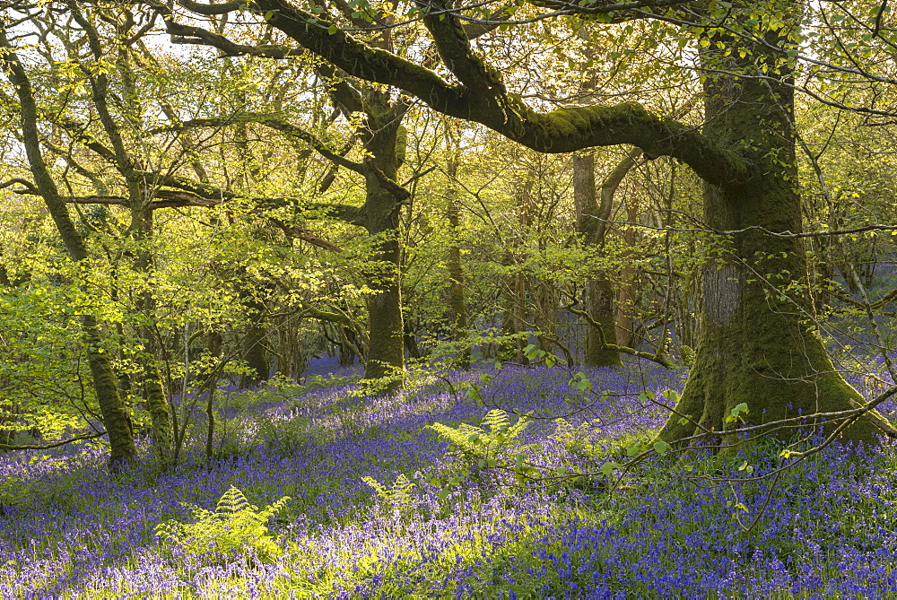 Flowering common bluebells in a sunlit broadleaf woodland in Dartmoor National Park, Devon, England, United Kingdom, Europe