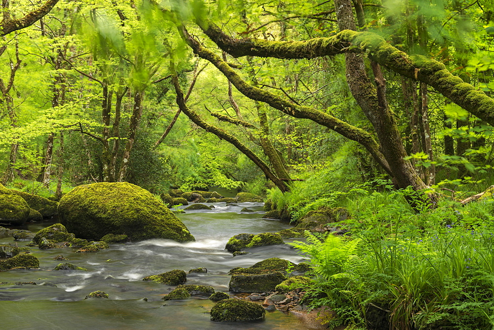 Spring foliage surrounding the River Teign near Fingle Bridge, Dartmoor National Park, Devon, England, United Kingdom, Europe