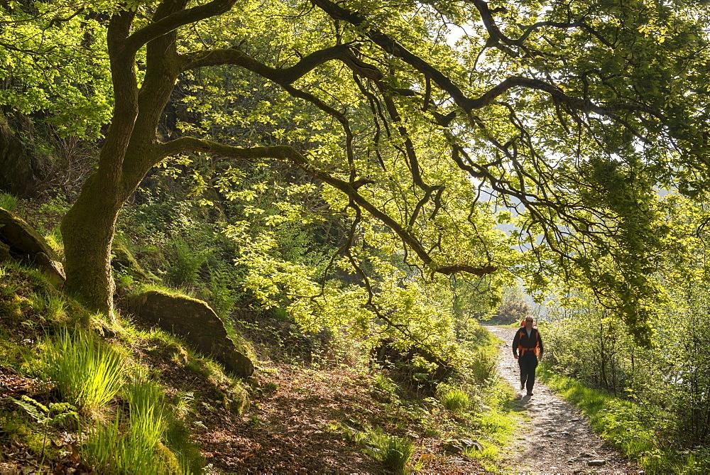 Man walking a woodland footpath, Llyn Dinas, Snowdonia National Park, Wales, United Kingdom, Europe - 799-3571