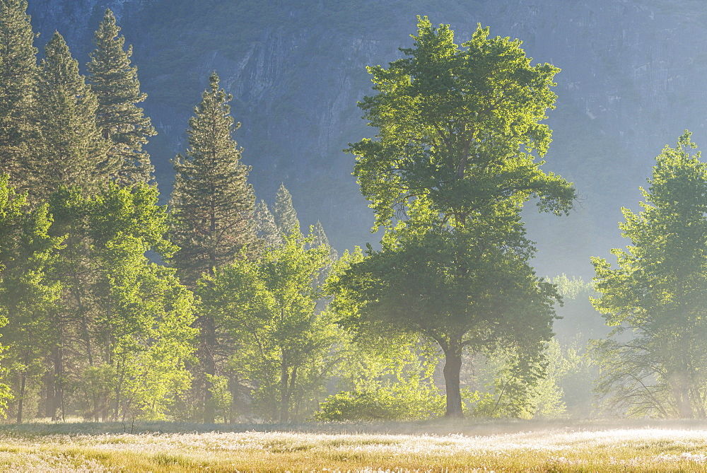 Trees in mist in Yosemite Valley at dawn, Yosemite National Park, UNESCO World Heritage Site, California, United States of America, North America