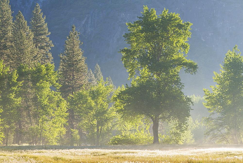 Trees in mist in Yosemite Valley at dawn, Yosemite National Park, California, USA. Spring (June) 2017.