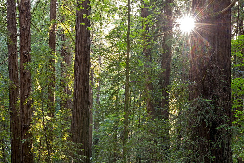 Evening sun shining through trees in spring, Muir Woods National Monument, California, United States of America, North America - 799-3591