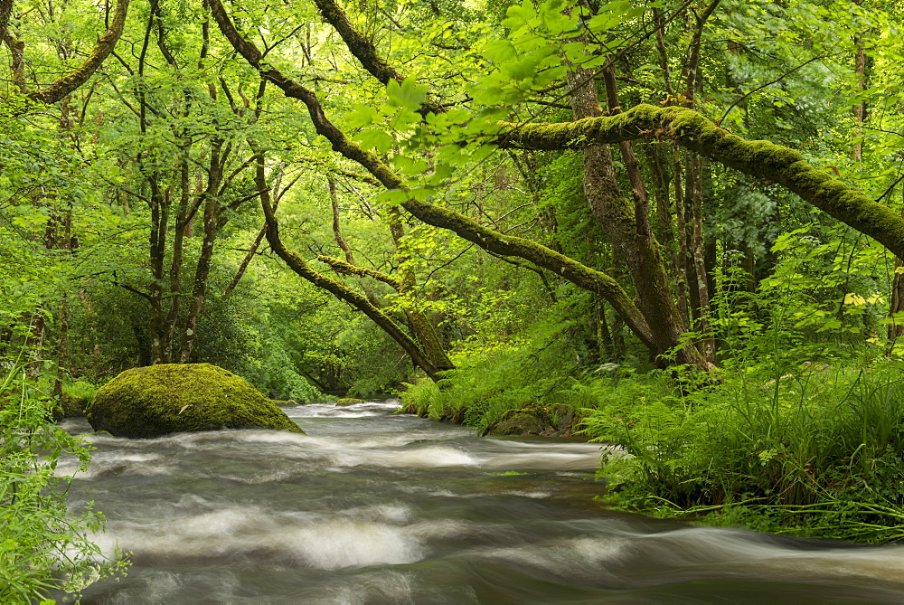River Teign rushing beneath moss covered trees near Fingle Bridge, Dartmoor National Park, Devon, England, United Kingdom, Europe - 799-3601