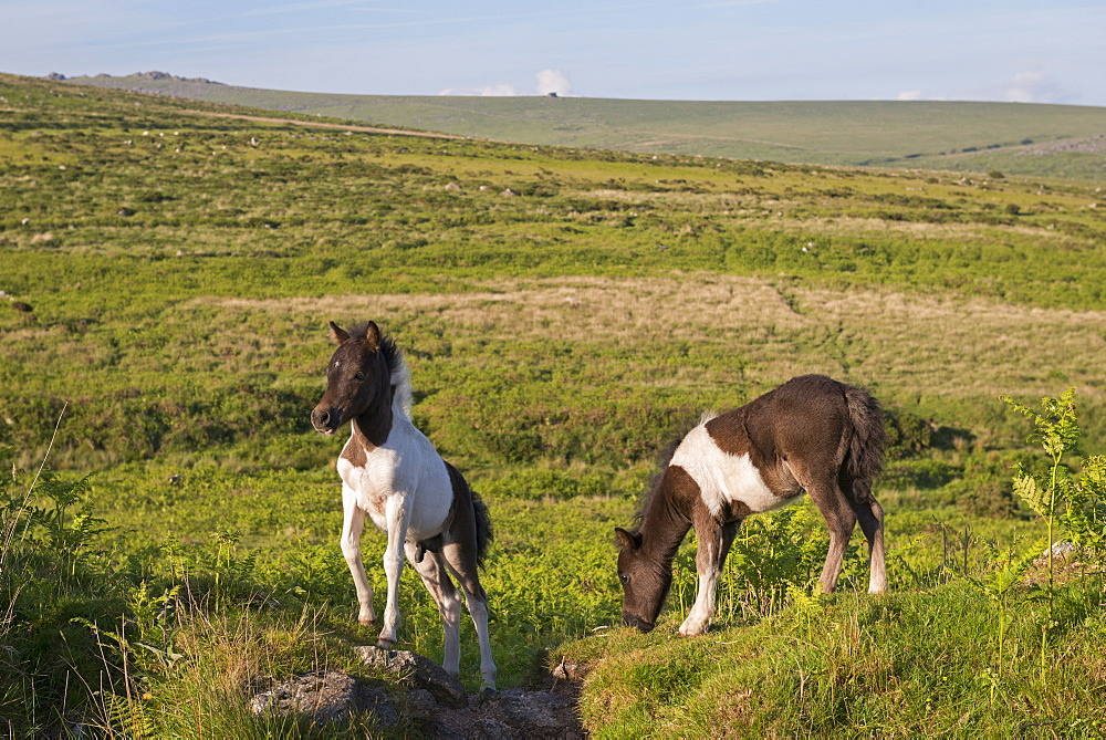 Dartmoor foals grazing on the moorland, Dartmoor National Park, Devon, England, United Kingdom, Europe