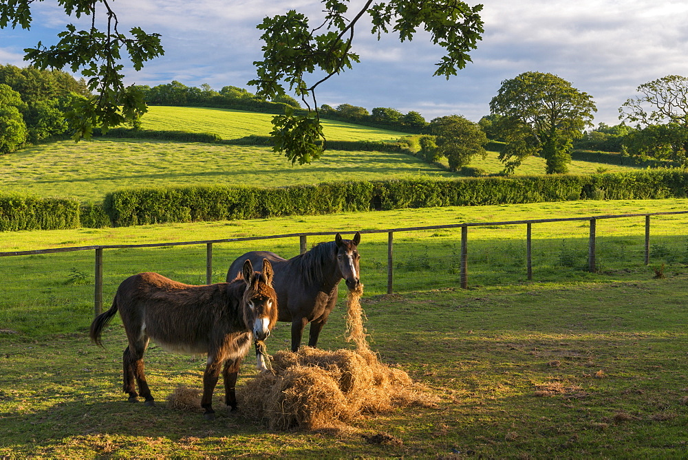 Donkey and pony eating hay in a summer field, Devon, England, United Kingdom, Europe