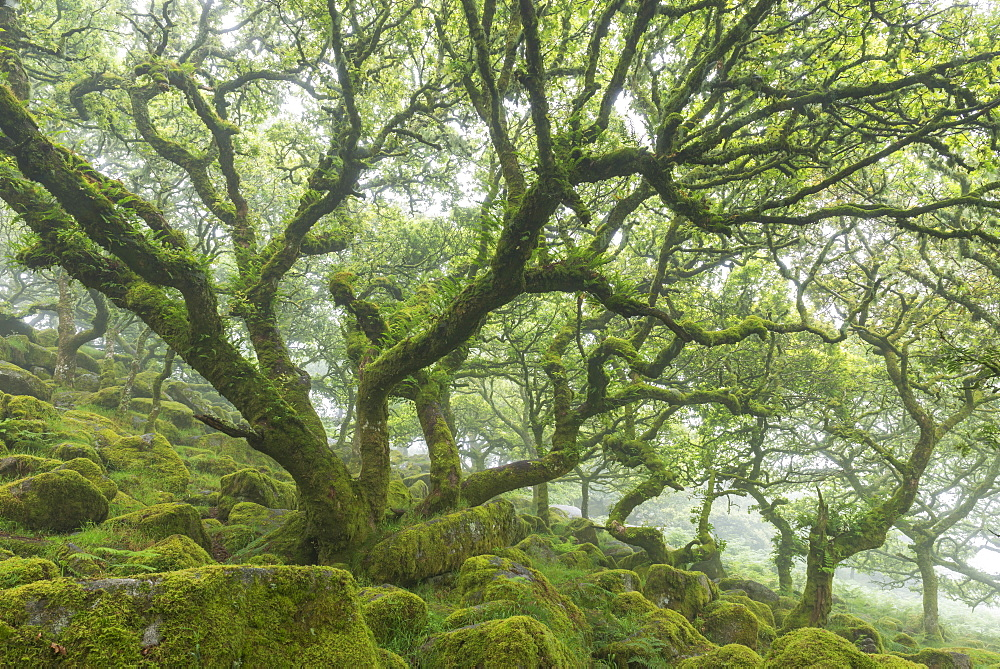Gnarled twisted moss covered Stunted oak trees in Wistmans Wood, Site of Special Scientific Interest, Dartmoor National Park, Devon, England, United Kingdom, Europe - 799-3636