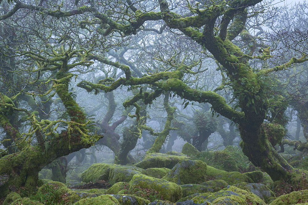 Gnarled and twisted trees in Wistman's Wood in winter on Dartmoor, Devon, England, United Kingdom, Europe - 799-3690