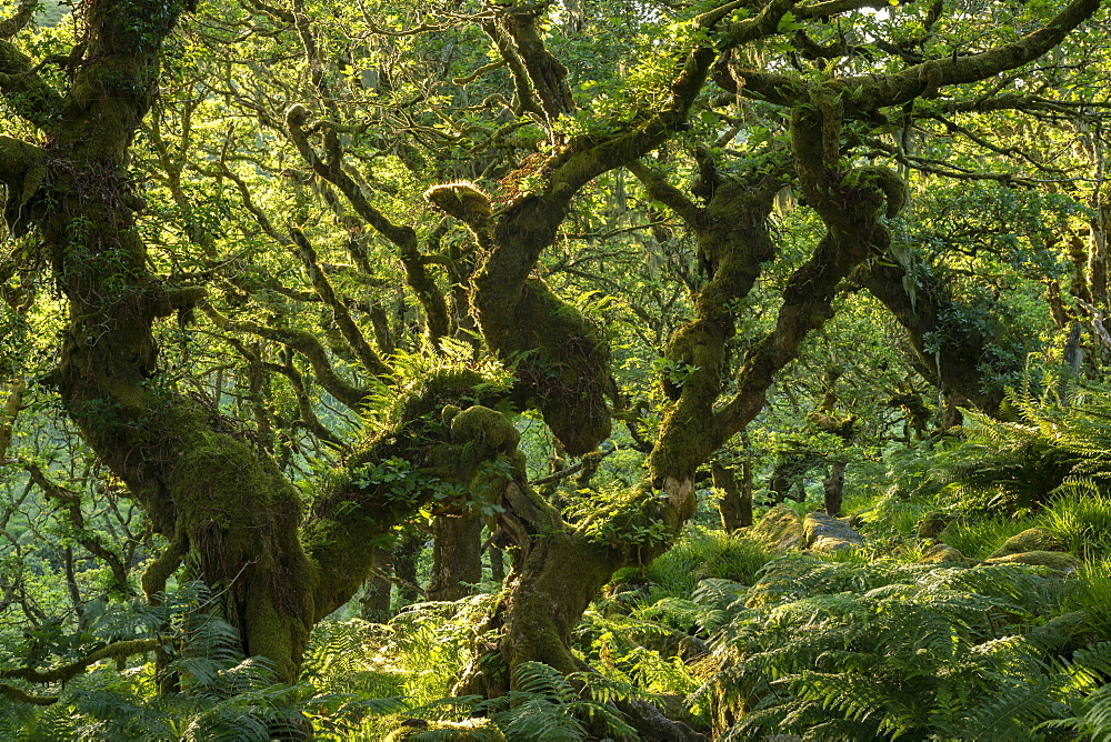 A verdant Wistman's Wood in summer sunshine, Dartmoor National Park, Devon, England, United Kingdom, Europe
