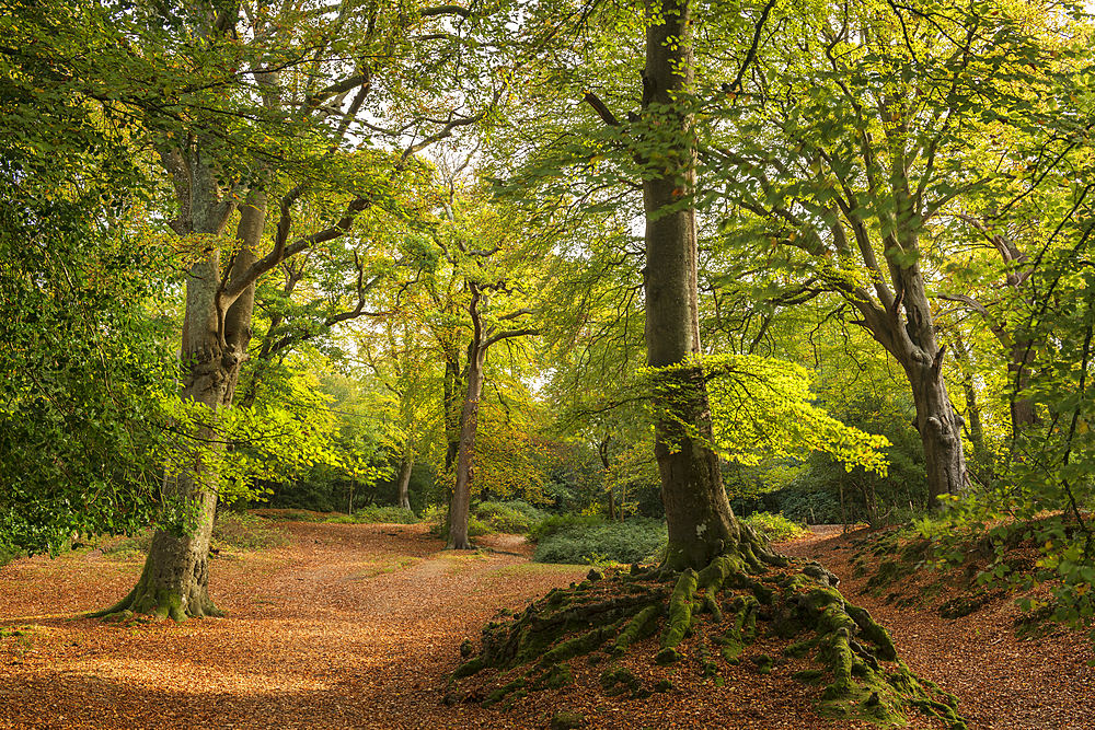 Deciduous woodland near the village of Burley in morning sunlight, New Forest National Park, Hampshire, England, United Kingdom, Europe