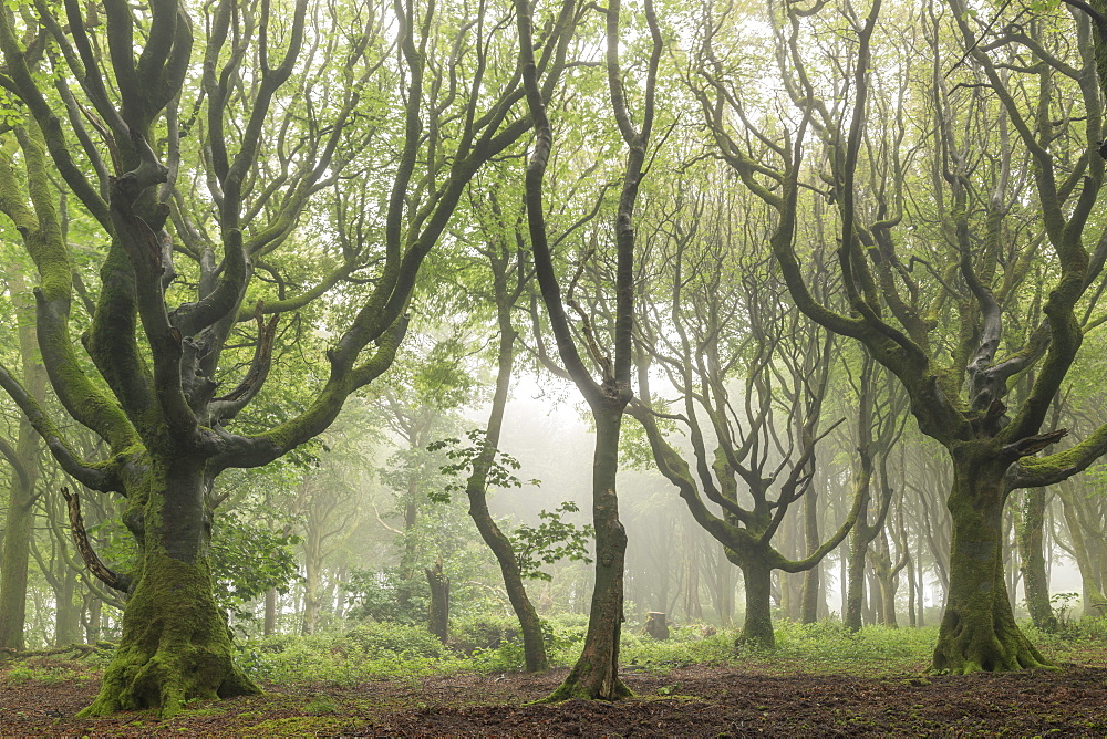 Deciduous trees on a foggy morning, North Cornwall, England, United Kingdom, Europe