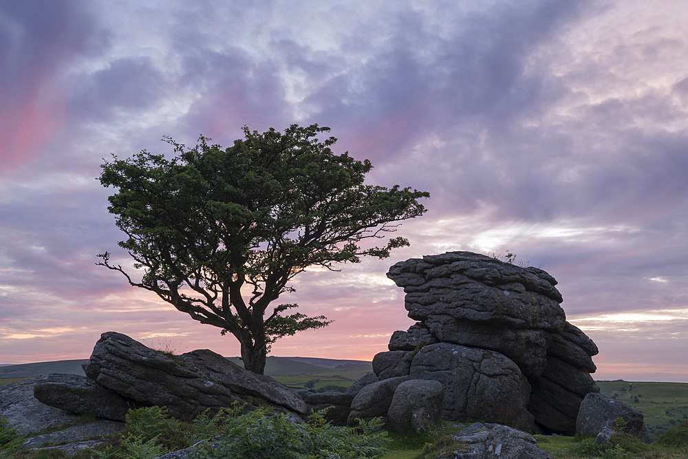 Hawthorn tree and granite tor at sunset, Dartmoor National Park, Devon, England.