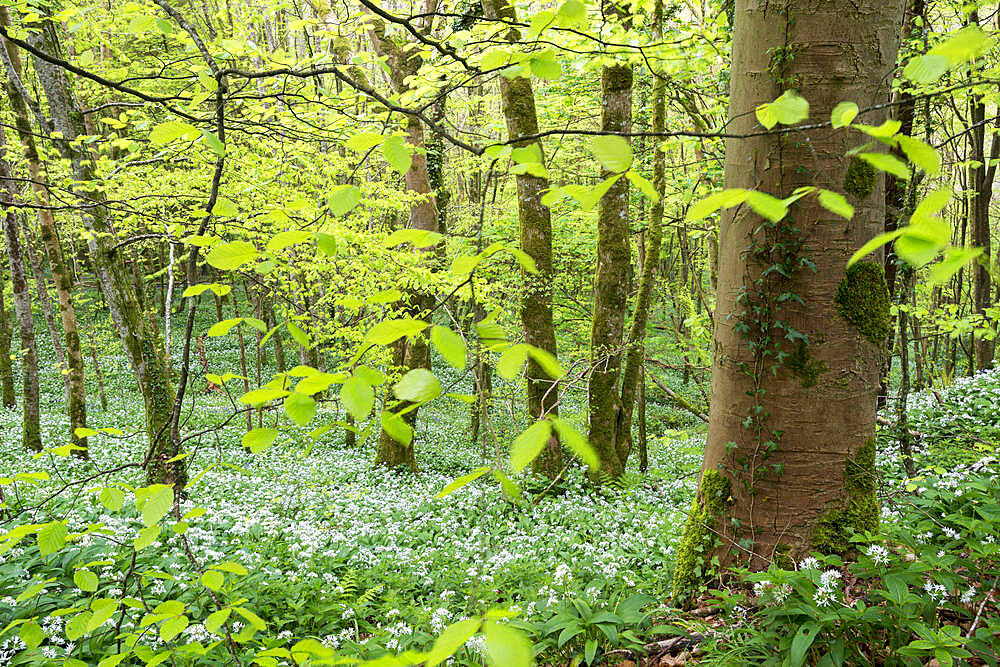 Wild Garlic flowering in a deciduous woodland in Spring, Looe, Cornwall, England.