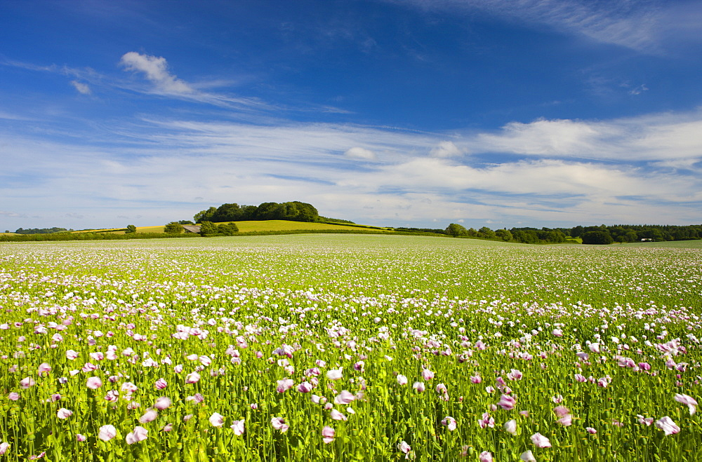 Poppyfield in the Dorset countryside, Dorset, England, United Kingdom, Europe